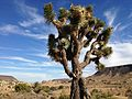 Joshua tree in Pipes Canyon (11004655444).jpg