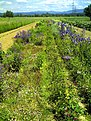 June Flower ^ Cherry Farming Fields Bahlingen - Master Seasons Rhine Valley Photography 2013 - panoramio (1).jpg