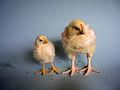 KAGfreiland Hühnervergleich 18.Tag.jpg