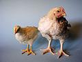 KAGfreiland Hühnervergleich 29.Tag.jpg