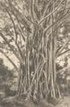 KITLV - 101120 - Kleingrothe, C.J. - Medan - Ficus Elastica, rubber tree in Sumatra - circa 1905.tif