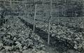 KITLV - 1402880 - Kleingrothe, C.J. - Medan - Coffee seedlings - circa 1910.tif