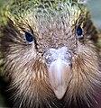 Kakapo chick (8528250083).jpg