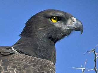 Martial eagle - Close-up of the head