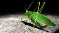 Katydid walking away (6010428017).png