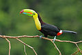 Keel billed toucan costa rica.jpg