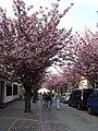 Kirschbäume.jpg