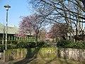 Kirschblüte (^) Dietrich-Keuning-Haus Dortmund, 13.3.14 - panoramio.jpg