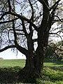 Kirsche am Eichelberg (Blofeld) 08.JPG