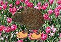 Kiwi in Clogs on Tulips.JPG