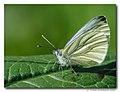 Klein geaderd witje - Green-veined White (4566690218).jpg