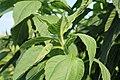Kluse - Helianthus strumosus - Helianthi 04 ies.jpg