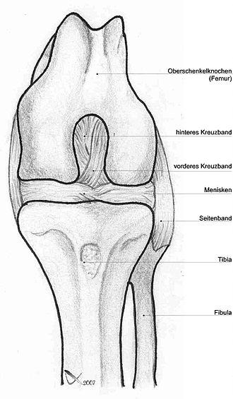 Dog anatomy - Dog knee