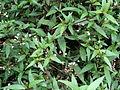 Knuckles Mountain Range plants 06.JPG
