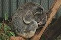 Koalas lācēns.jpg