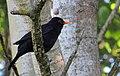 Koltrast Blackbird (14459789326).jpg