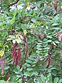 Korina 2011-08-15 Robinia pseudoacacia 3.jpg