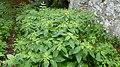 Korina 2013-08-13 Impatiens parviflora.jpg