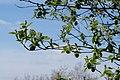 Korina 2016-05-01 Amelanchier alnifolia 3.jpg