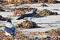 Kråka Hooded Crow (31114522212).jpg