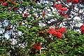 Krishnochura Flower.jpg