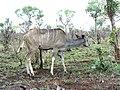 Kudu (393889726).jpg