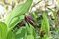 Lady's-Slipper Orchid - Cypripedium calceolus (14248246763).jpg