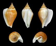 Kelas Gastropoda Wikipedia