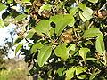 Lagunaria patersonia-fruit foliage.jpg