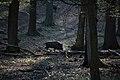 Lainzer Tiergarten März 2014 Bärenberg Wildschwein (Sus scrofa) 3.jpg
