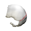 Lambdoid suture - close up - lateral view.png