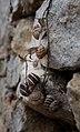 Land snails on a wall, eating, Zarace, Croatia (PPL1-Corrected) julesvernex2.jpg