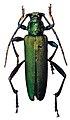 Laosaphrodisium subplicatum - ZooKeys-275-067-g002-16.jpeg