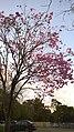 Lapacho en Flor - panoramio (1).jpg