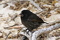 Large cactus ground finch Espanola 1.jpg