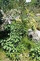 Laserpitium latifolium kz02.jpg