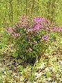 Lathyrus vernus bialowieza forest beentree.jpg