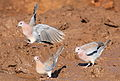 Laughing Dove, Spilopelia senegalensis, at Mapungubwe National Park, Limpopo, South Africa (18214675914).jpg