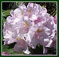 Lavender rhododendron (493143590).jpg