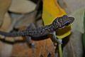 Leaf-toed Gecko (Dixonius siamensis)2.jpg
