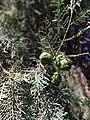 Leaf cone of Cupressus dupreziana 04.jpg