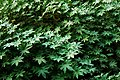 Leaves at Agrabad (01).jpg