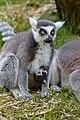 Lemur (40596160095).jpg
