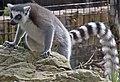 Lemur 2 (4469755609).jpg