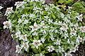 Leontopodium japonicum 08.jpg