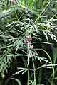Leonurus japonicus.JPG