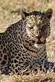 Leopard-001.jpg
