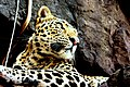 Leopard..On the outskirts of Ranthmbore Tiger Reserve.jpg