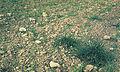 Les Plantes Cultivades. Cereals. Imatge 251.jpg