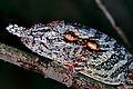 Lesser Chameleon (Furcifer minor) male (7641365430).jpg